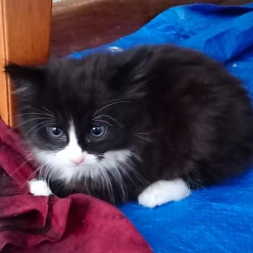 Kyle - Domestic Medium Hair Cat