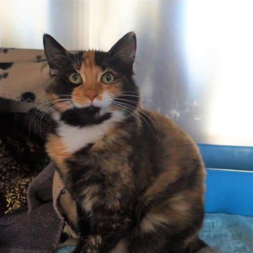 Lori - Domestic Short Hair Cat