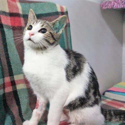 Piper - Domestic Short Hair Cat