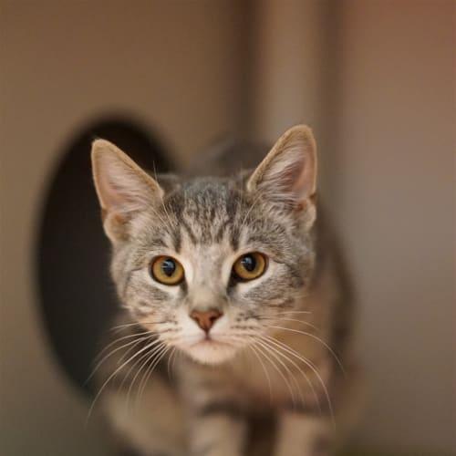 Zero - Domestic Short Hair Cat
