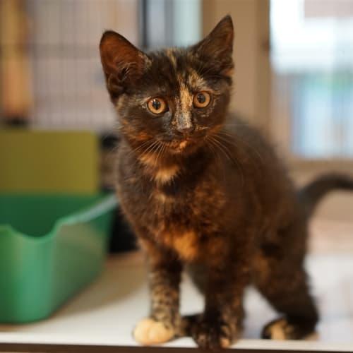Cheeky - Domestic Short Hair Cat