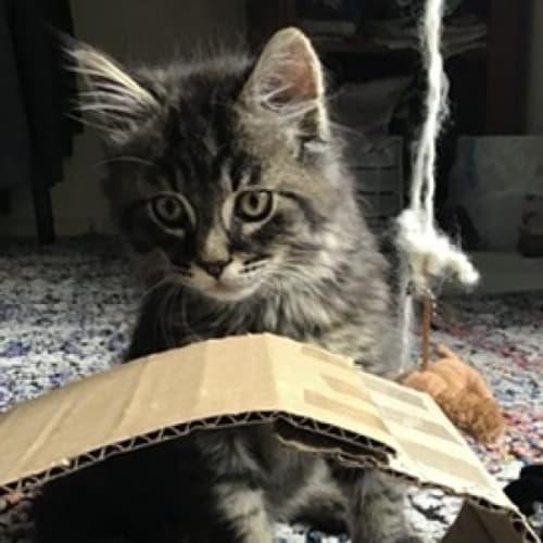 Wynston - Domestic Short Hair Cat