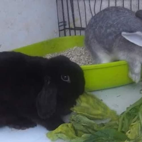 Beauty and Dr Who - Dwarf lop Rabbit