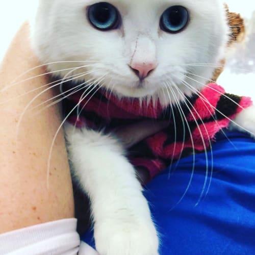 Sugar - Persian Cat