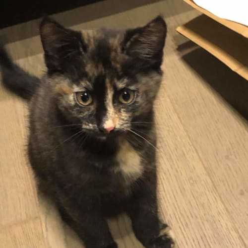 Ally & callie - Domestic Short Hair Cat