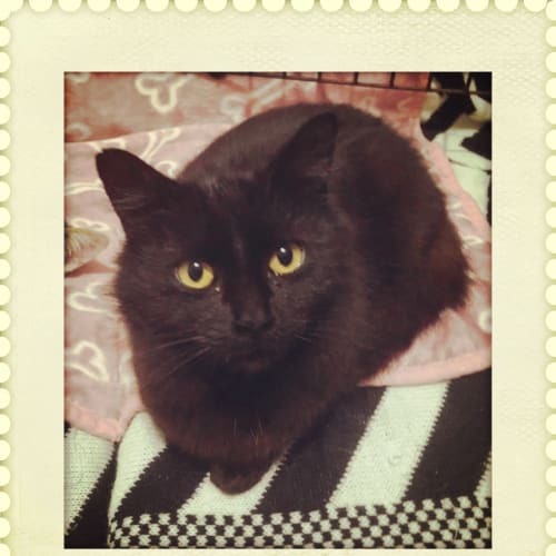 Phoenix ** So Special ** - Domestic Medium Hair Cat