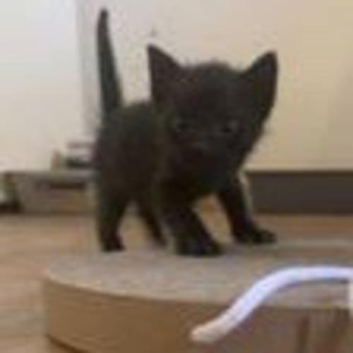Inka - Domestic Short Hair Cat
