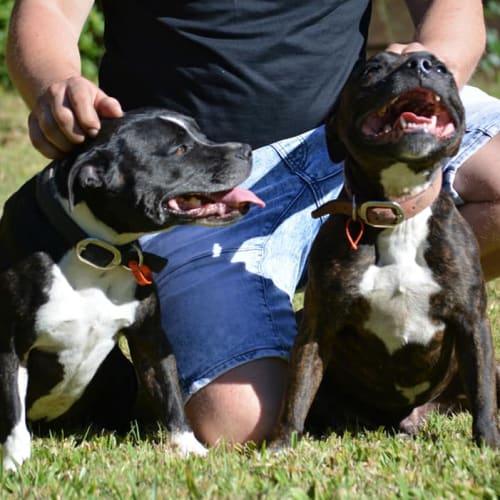 Jett & Budha - Staffordshire Bull Terrier Dog