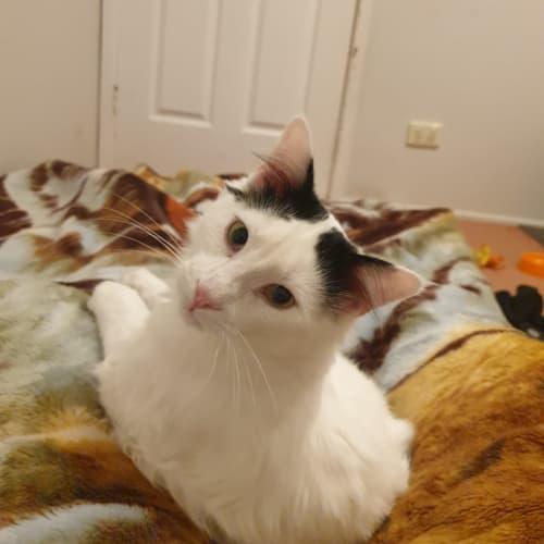 Snoopy - Domestic Medium Hair Cat