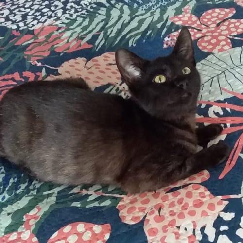 Vivienne - Domestic Short Hair Cat