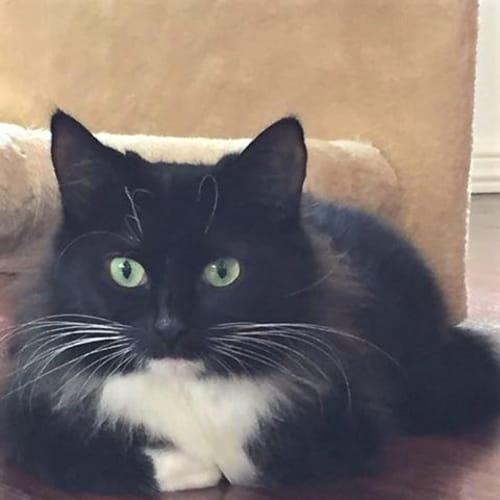 3100 - Bloom - Domestic Medium Hair Cat