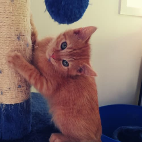 Lucius (Lucky) - Domestic Short Hair Cat