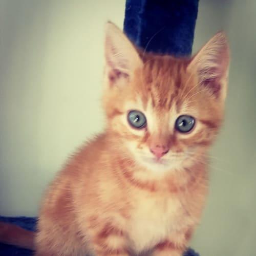 Maximus (Max) - Domestic Short Hair Cat