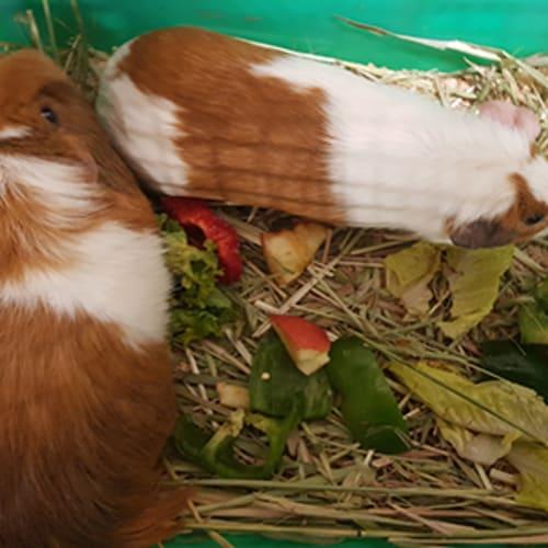 Beeps (Buddy of Gavin) -  Guinea Pig