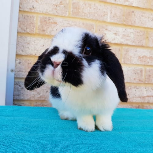 Maverick - Mini Lop Rabbit