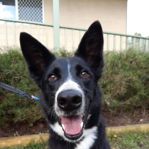Tyson - Border Collie x Koolie Dog