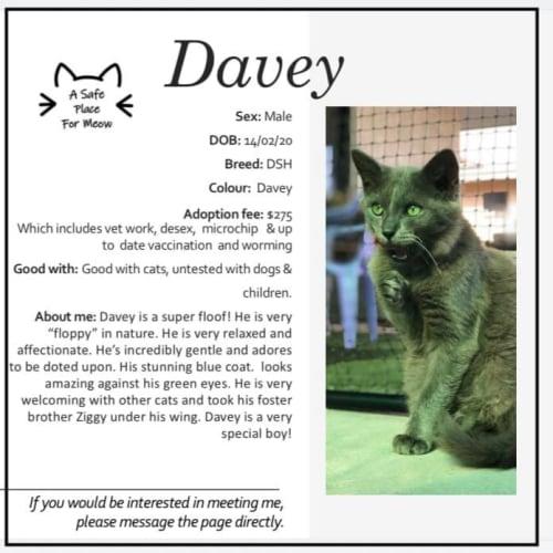 Davey - Domestic Medium Hair Cat