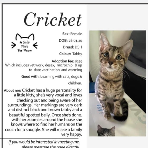 Cricket - Domestic Short Hair Cat