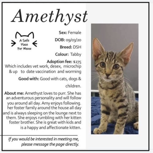 Amethyst - Domestic Short Hair Cat