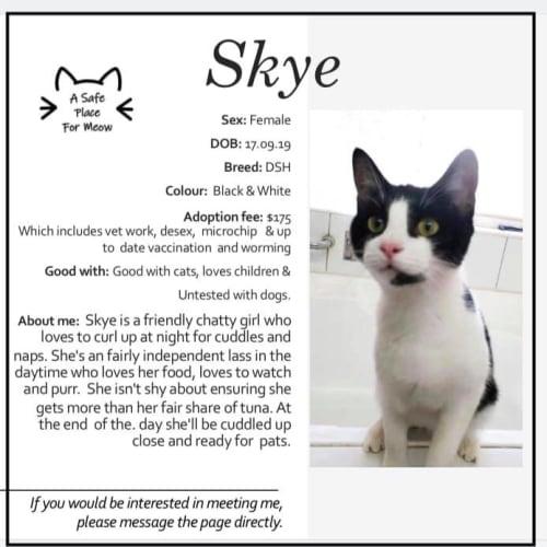 Skye - Domestic Short Hair Cat