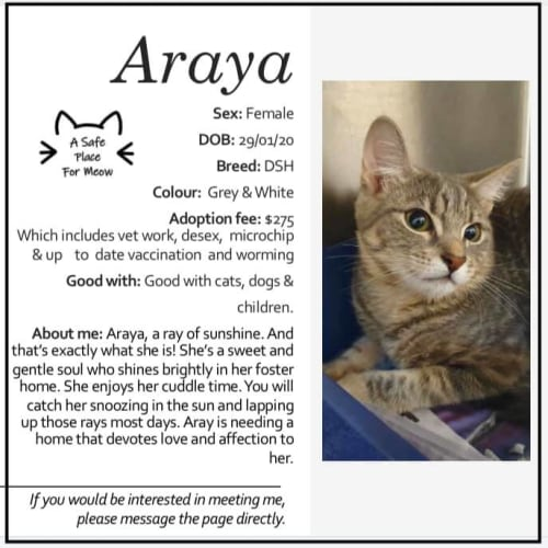 Araya - Domestic Short Hair Cat