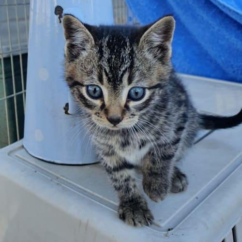 Ernie - Domestic Short Hair Cat
