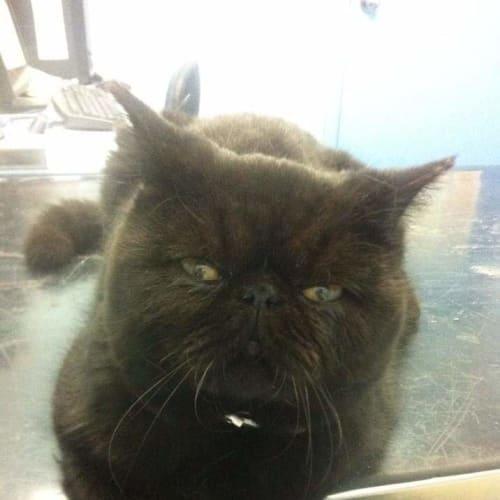 Hongi - Exotic Shorthair Cat