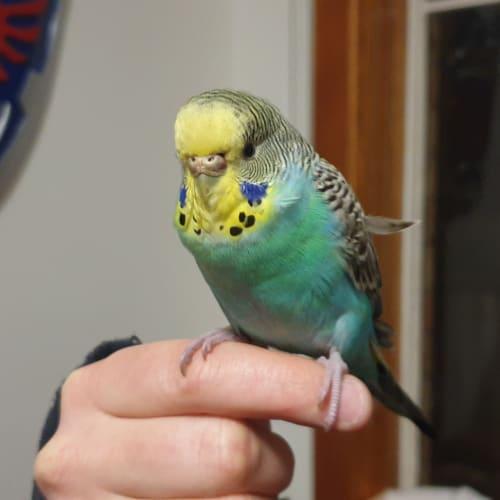 Beetle -  Parrot