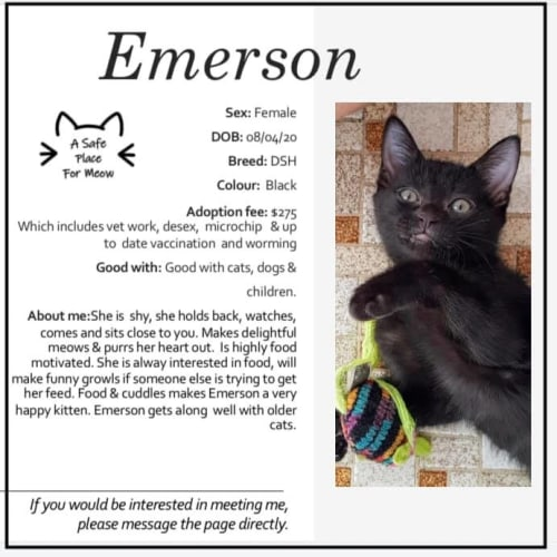 Emerson - Domestic Short Hair Cat