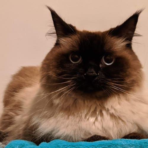 Coco Chanel - Ragdoll Cat