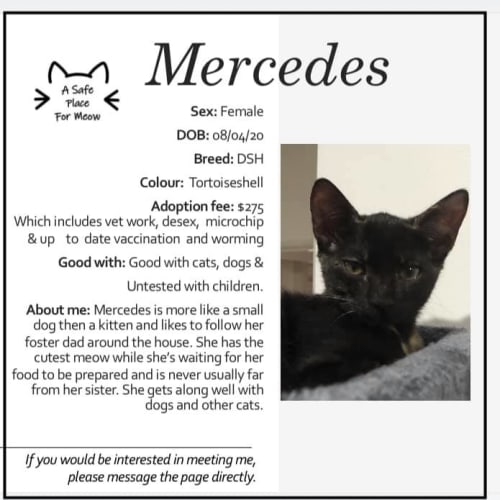 Mercedes - Domestic Short Hair Cat