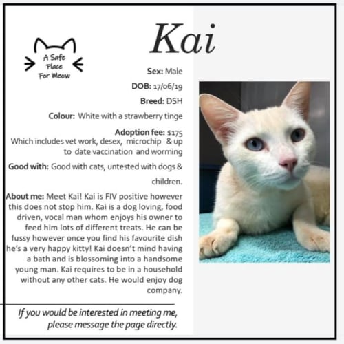 Kai - Domestic Short Hair Cat