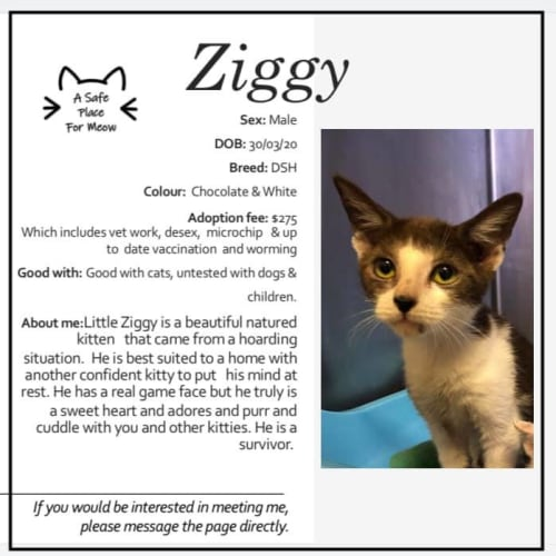 Ziggy - Domestic Short Hair Cat