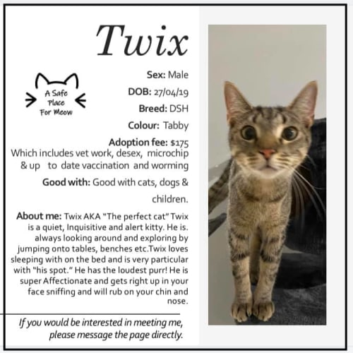 Twix - Domestic Short Hair Cat
