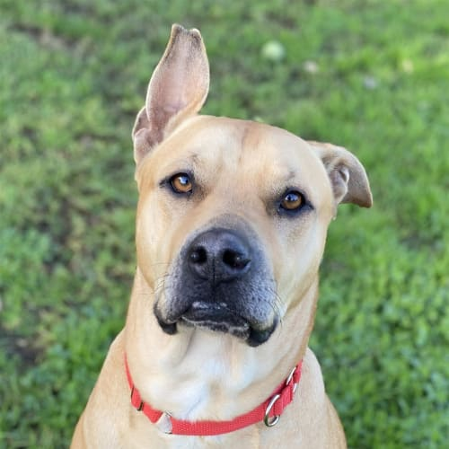 Juju - Large Mixed Breed Dog