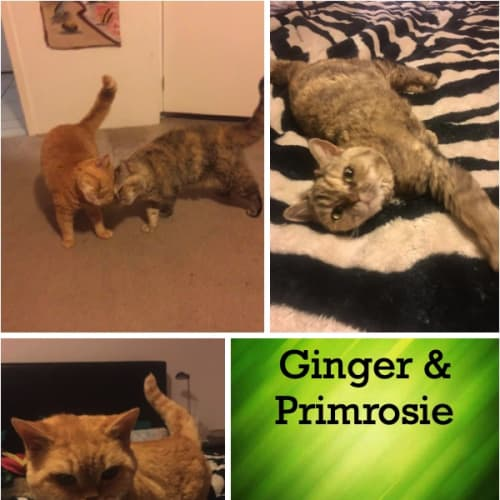 Ginger and Primrosie - Selkirk Rex Cat