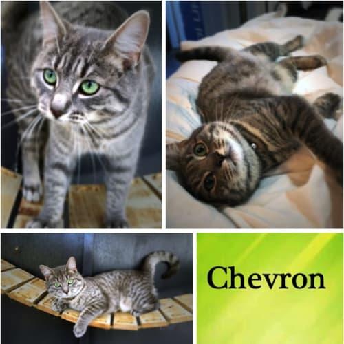 Chevron - Domestic Short Hair Cat