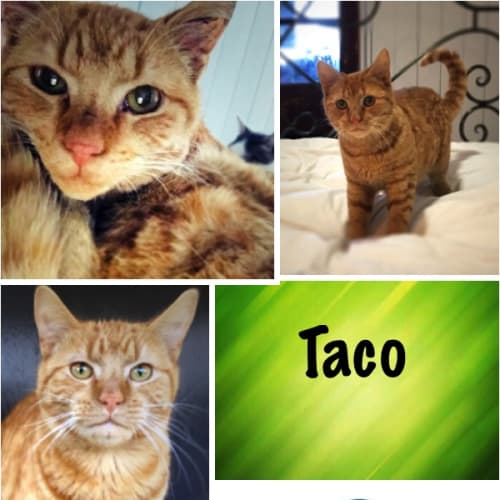 Taco - Domestic Short Hair Cat