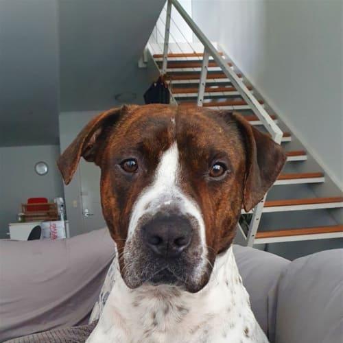 Macaron - Staffordshire Terrier Dog