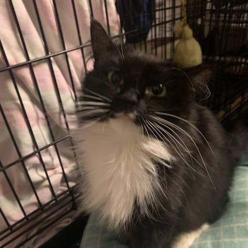 Jasmin - Domestic Medium Hair Cat
