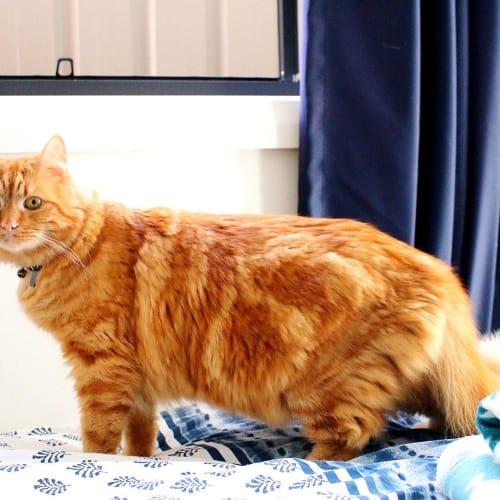 Jaffa ~ 2 year old cat - Domestic Short Hair Cat
