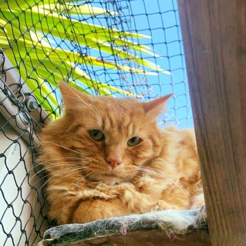 3258 – Harry - Domestic Medium Hair Cat