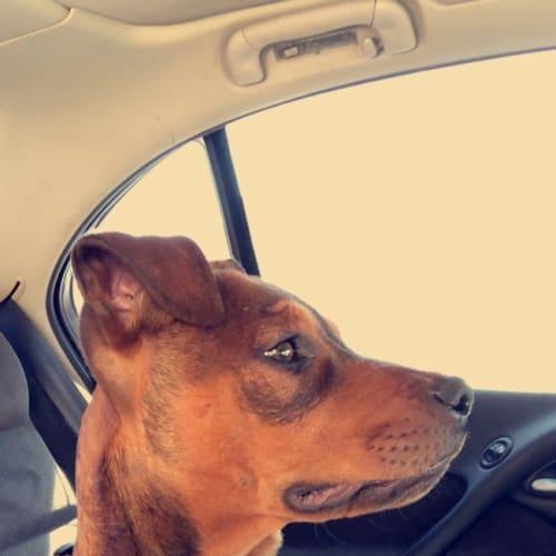 Axel - Staffy Dog