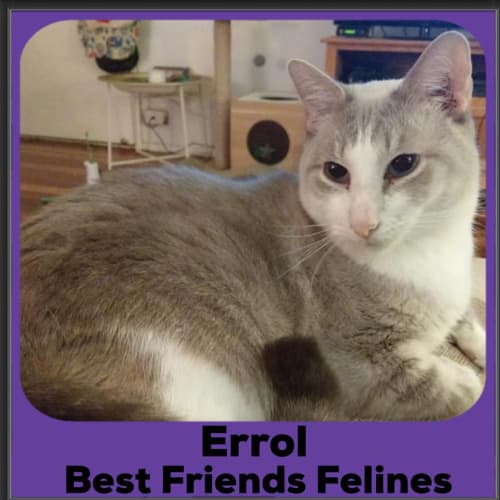 Errol  - Burmese Cat