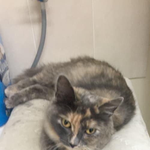 Opal - Domestic Medium Hair Cat