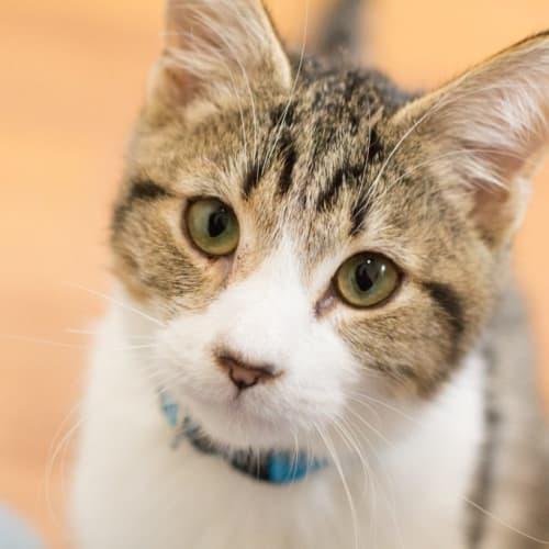 Ace - Domestic Short Hair Cat
