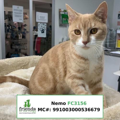 Nemo - Domestic Short Hair Cat