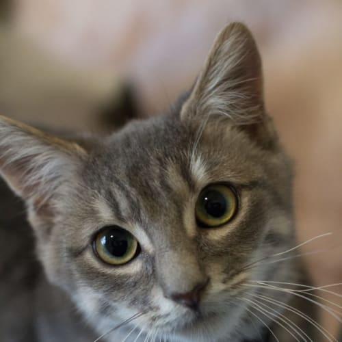 Flynn - Domestic Short Hair Cat
