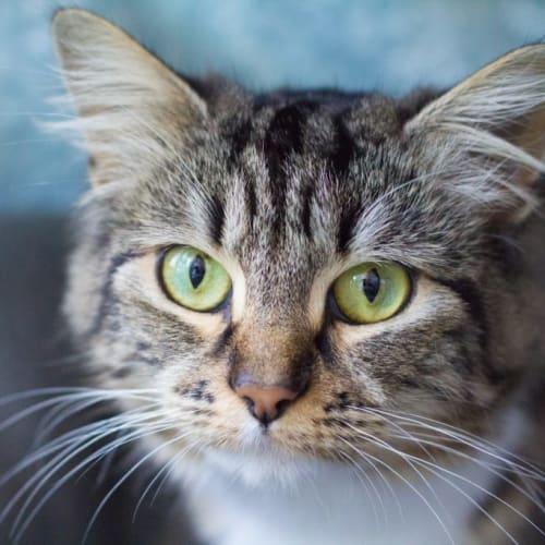 Kimbra - Domestic Medium Hair Cat
