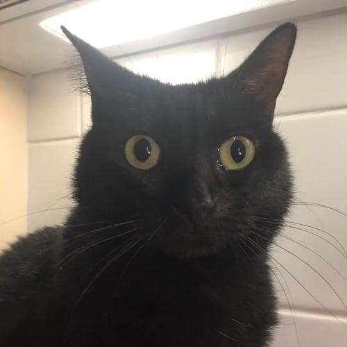 Madga - Domestic Short Hair Cat
